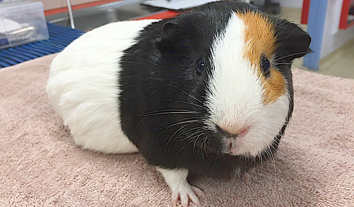 tooth-vets-guinea-pigs