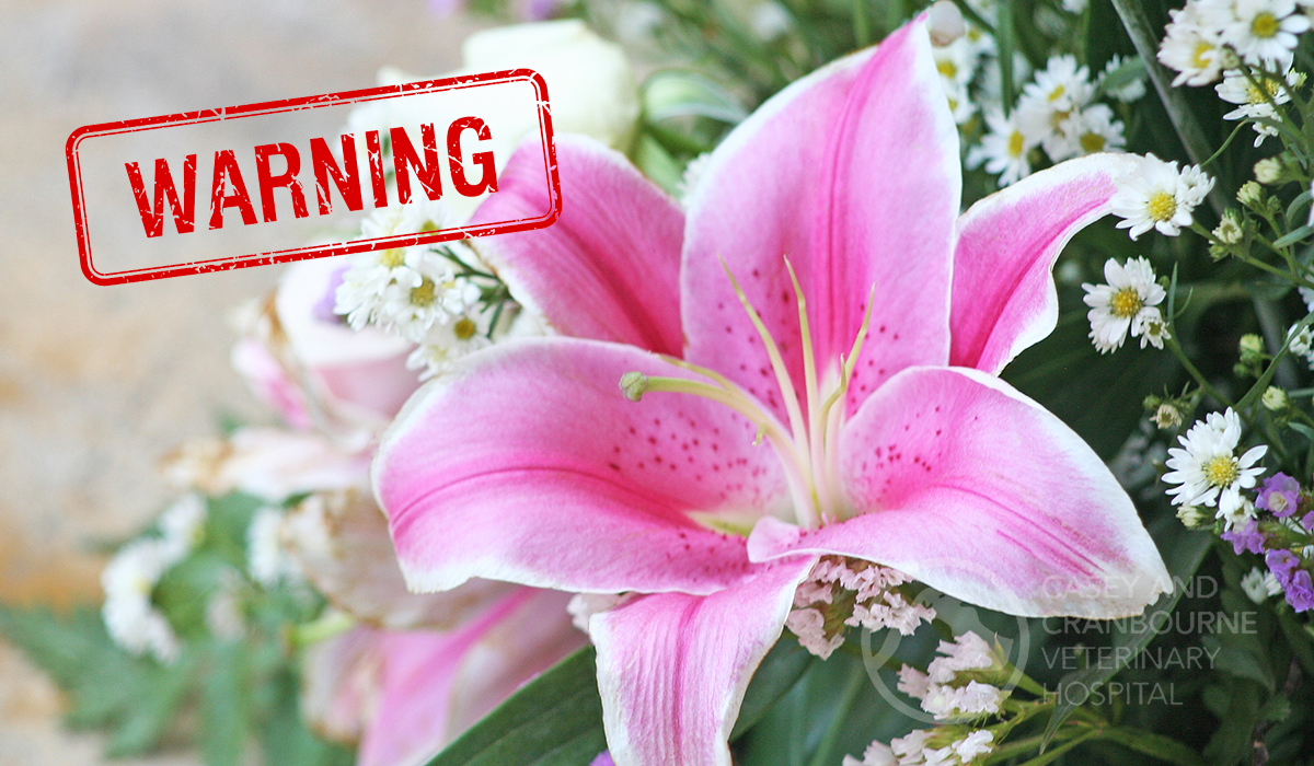lilies-dangerous-for-cats