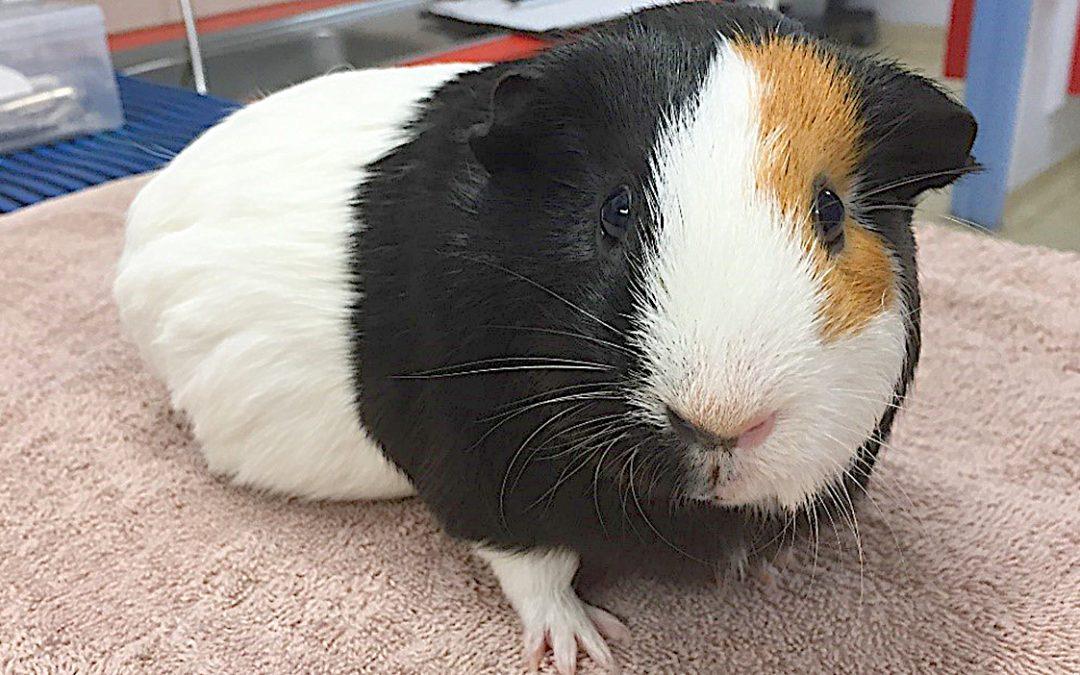 Case Study: Guinea Pig Dental