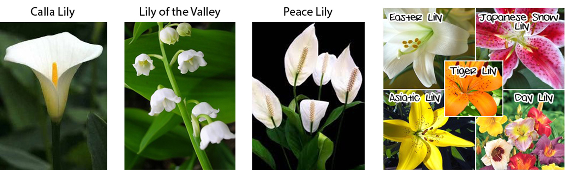 types-of-lilies