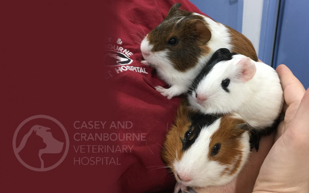pet-caesarian-vets-in-melbourne