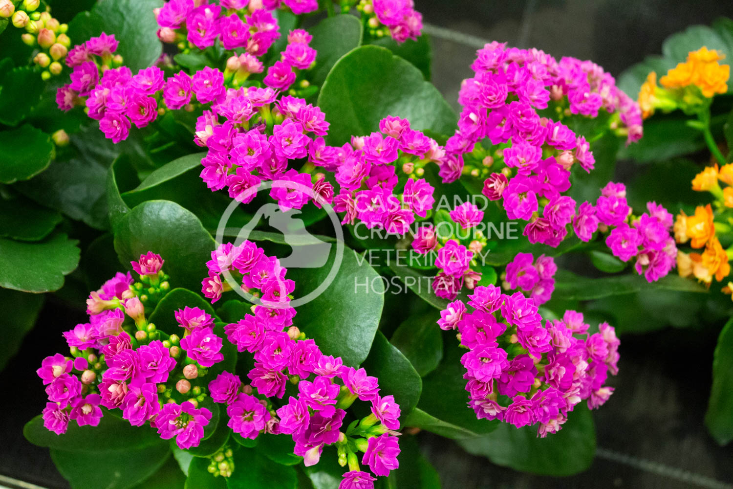 Kalanchoe-dangerous-to-pets