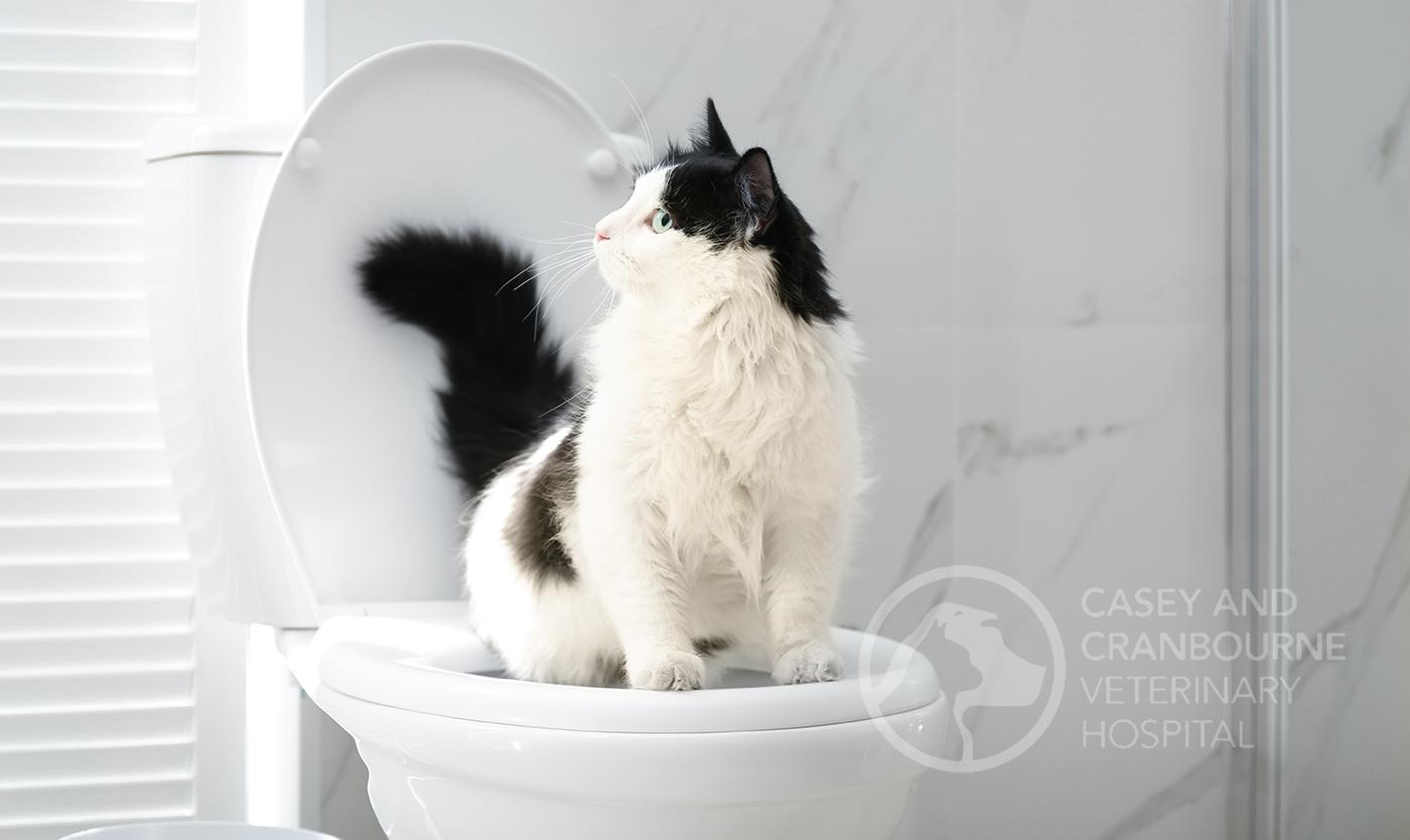 male-cat-urinary-blockage-melbourne
