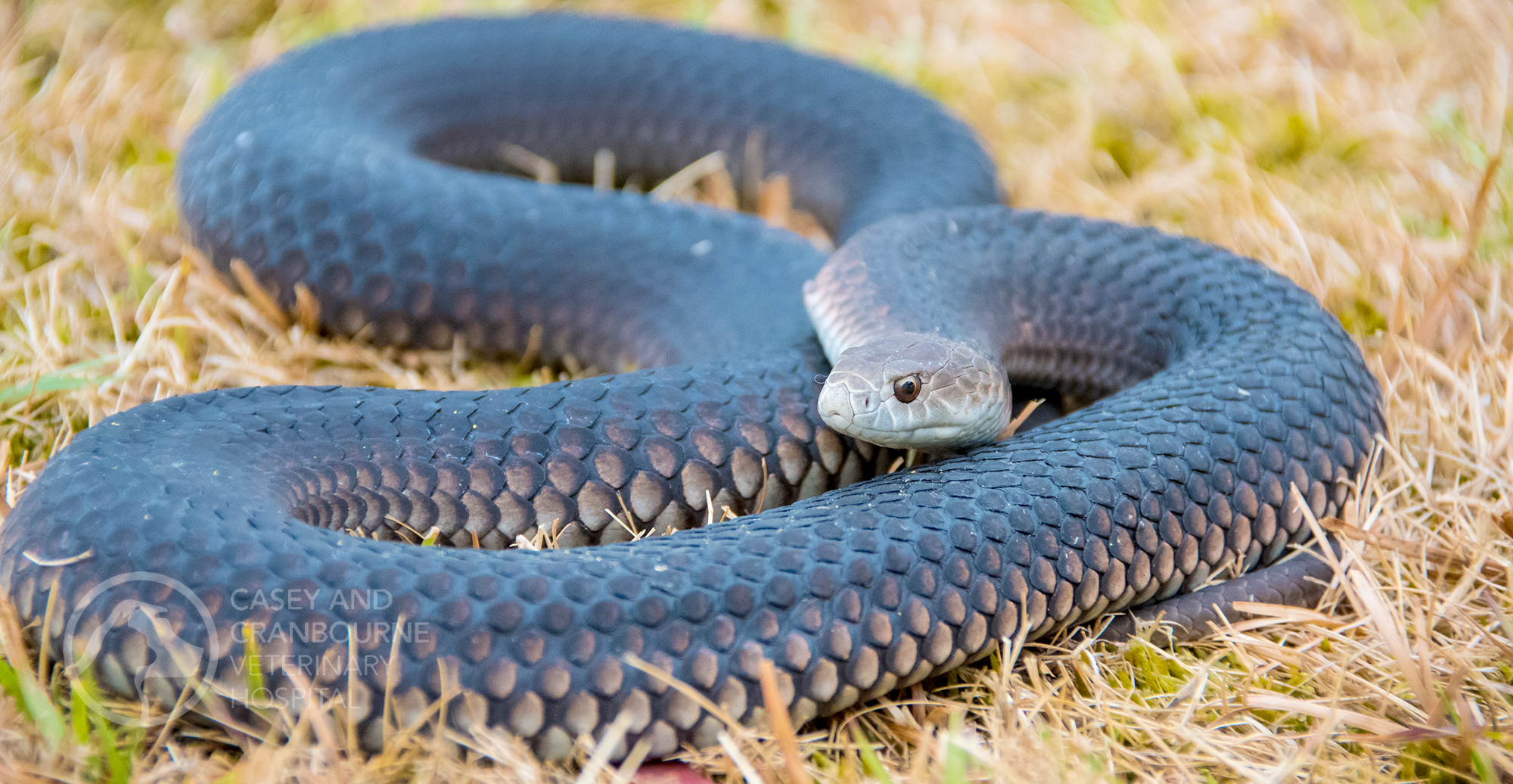 pet-bitten-by-tiger-snake-vets-melbourne