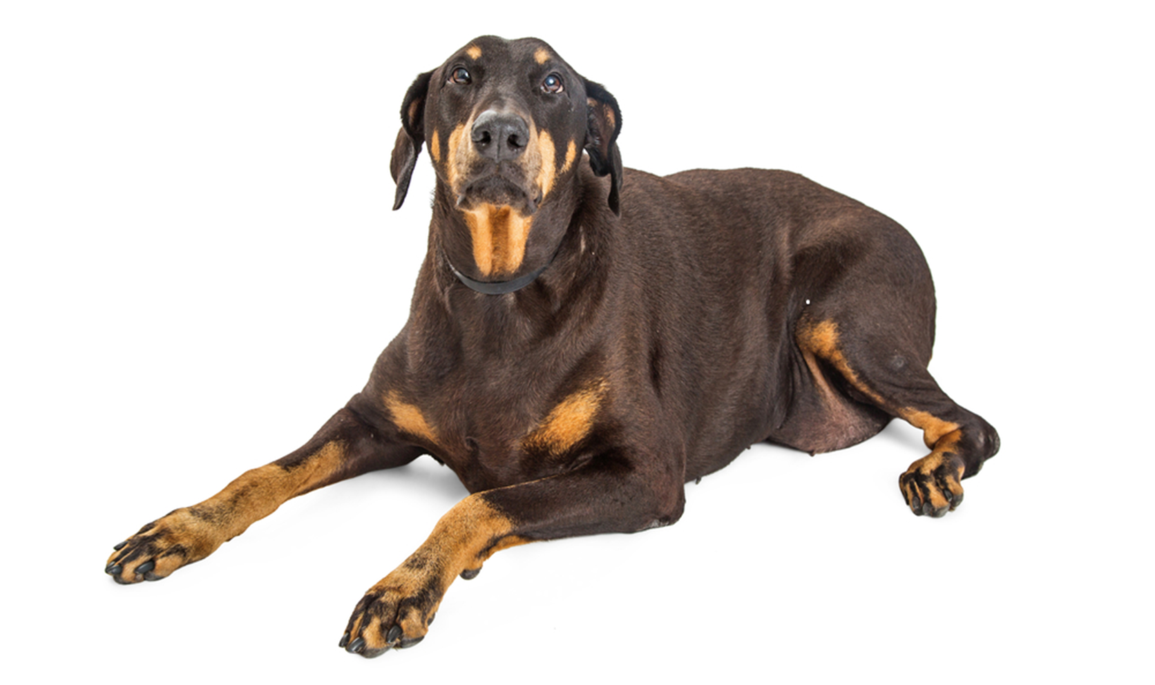 symptoms-of-hypothyroidism-in-dogs