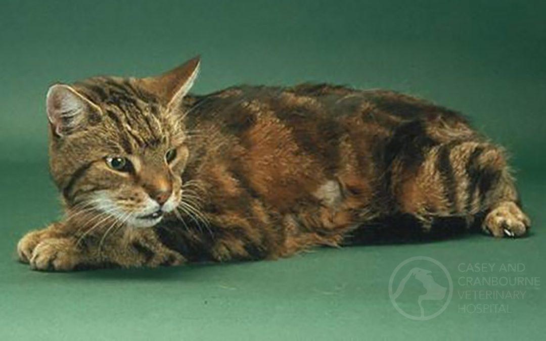 What is Feline Hyperthyroidism?