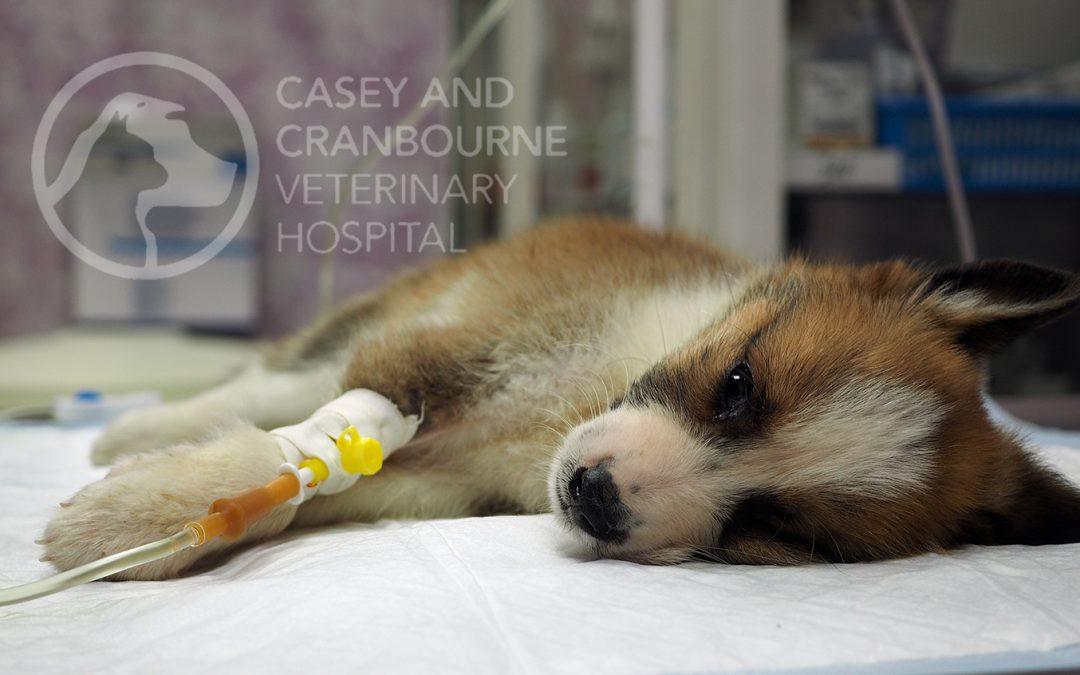 dog-liver-disease-specialists-melbourne